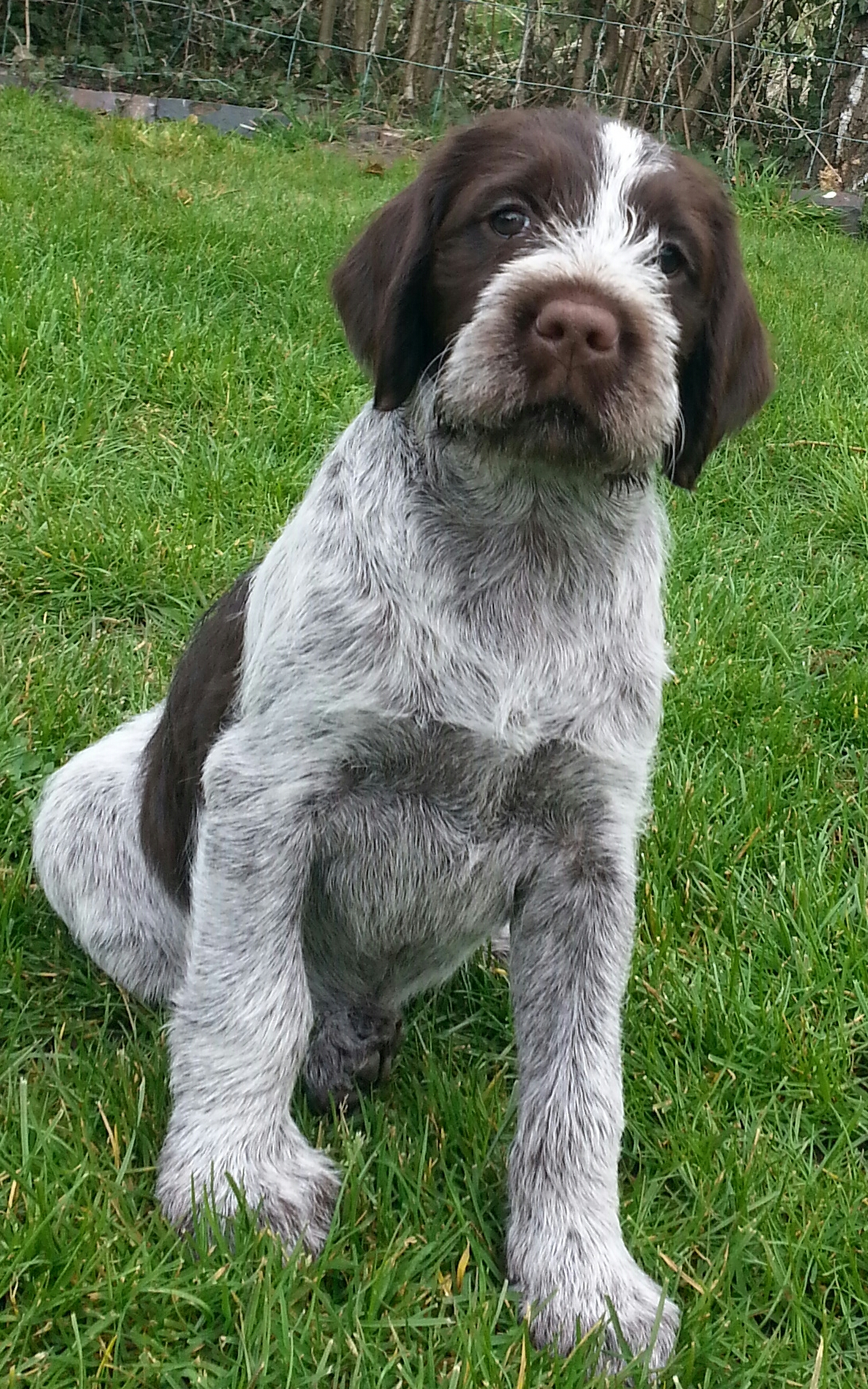 Wirehaired Pointing Griffon For Sale Uk Wire Center Abb Earthleakage Circuit Breaker F364 Nib Korthals Puppies Rh Korthalgriffon Co Colorado Michigan