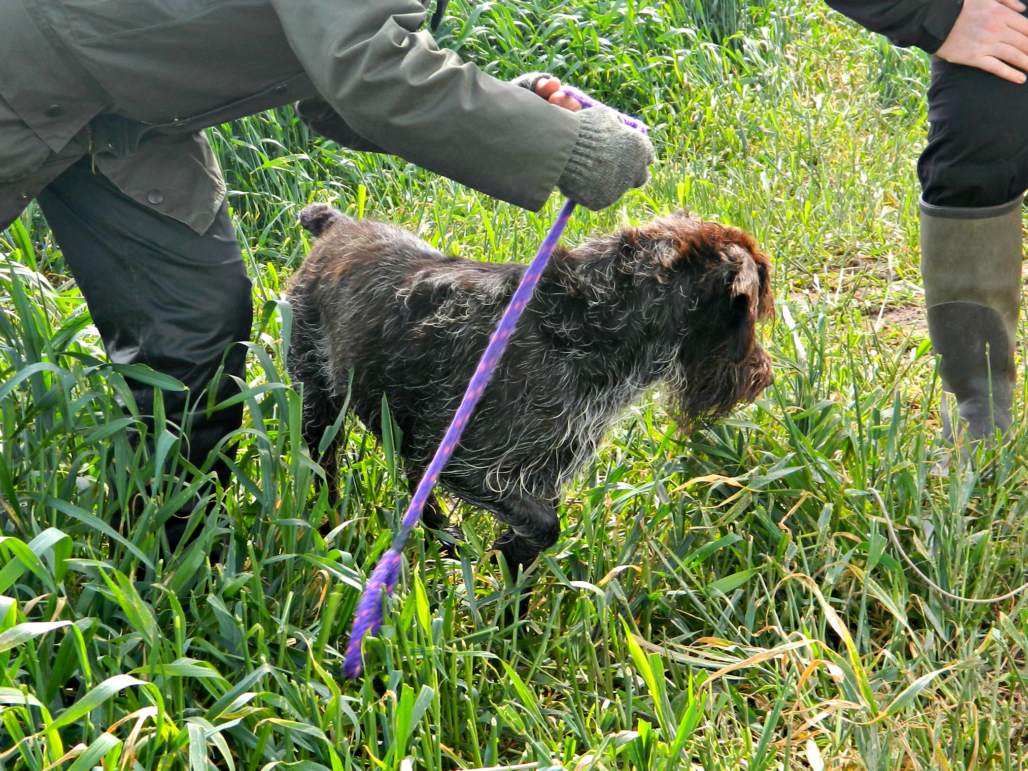 Wirehaired Pointing Griffon For Sale Uk Wire Center Abb Earthleakage Circuit Breaker F364 Nib Korthals Puppies Rh Korthalgriffon Co Michigan In Az